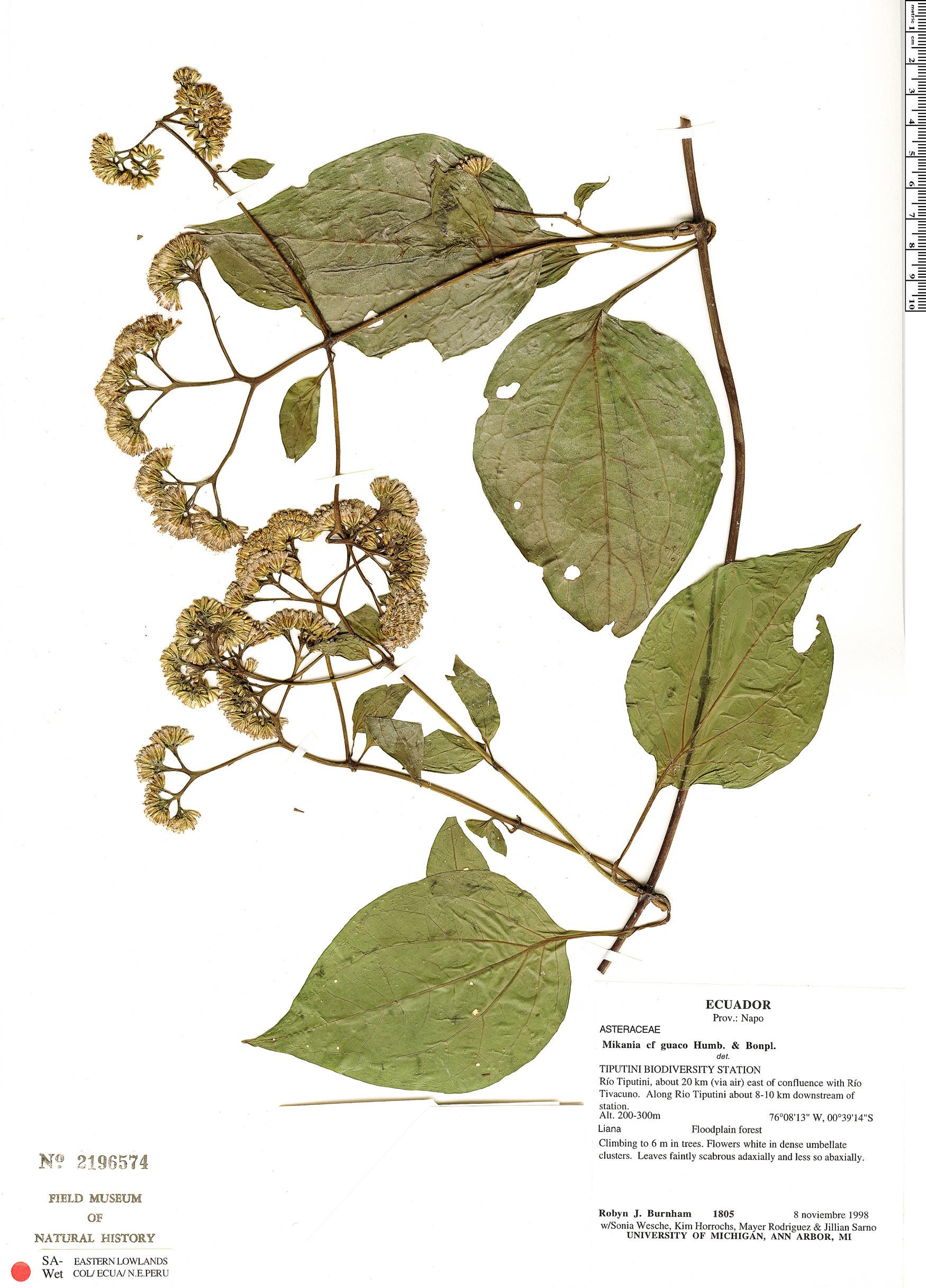 Espécimen: Mikania guaco