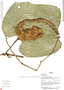 Gurania rhizantha (Poepp. & Endl.) C. Jeffrey, Ecuador, R. J. Burnham 1773, F