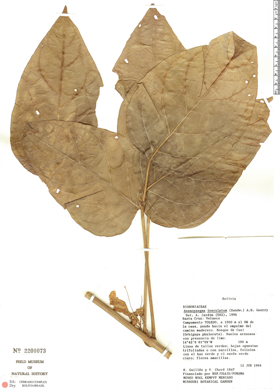 Specimen: Anemopaegma insculptum