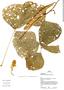 Pachyrhizus tuberosus (Lam.) Spreng., Peru, J. Schunke Vigo 14504, F