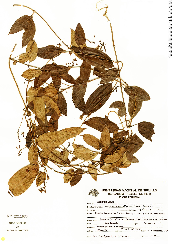 Specimen: Blepharodon salicinum
