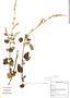 Salvia tubiflora Ruíz & Pav., Peru, M. Binder 99/74, F