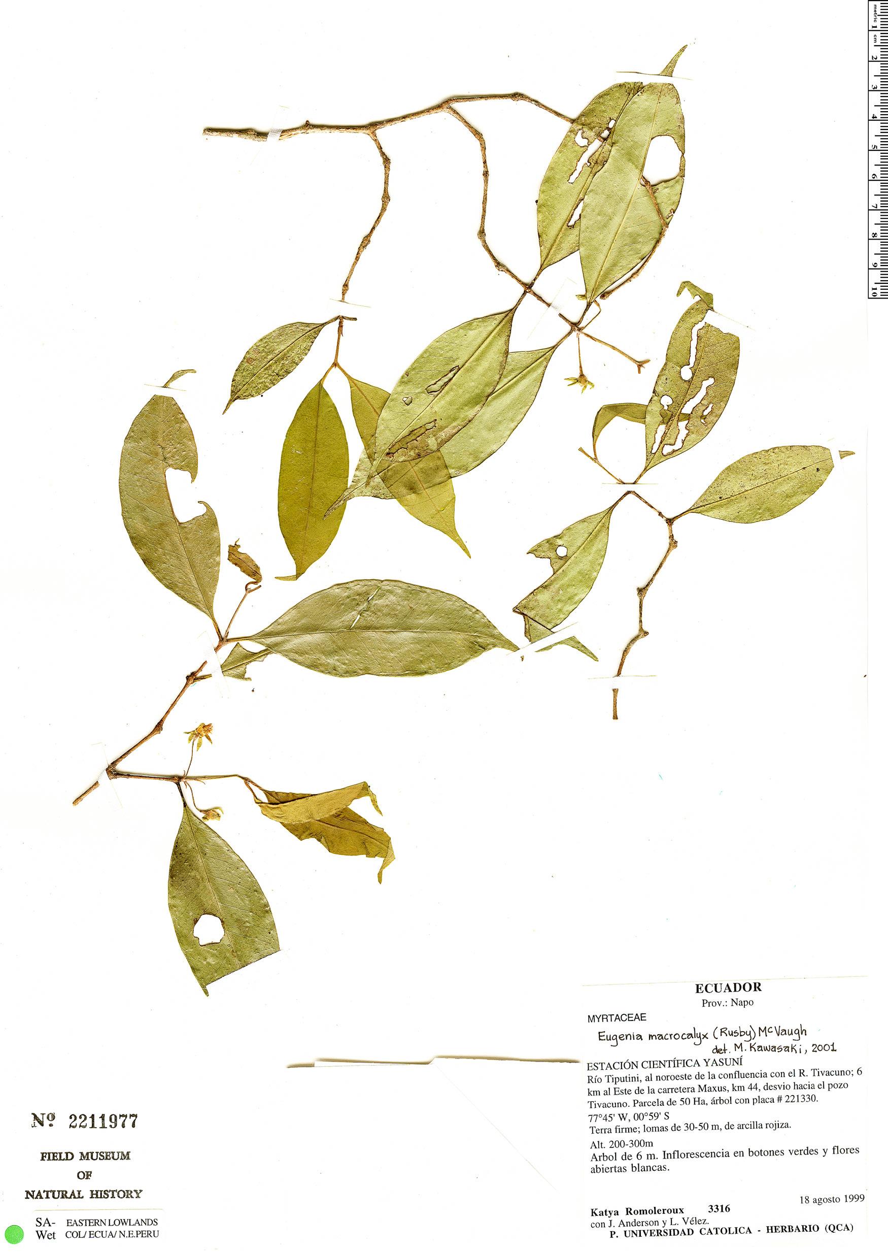 Specimen: Eugenia macrocalyx