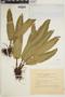 Asplenium scolopendrium subsp. scolopendrium image
