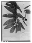 Field Museum photo negatives collection; Paris specimen of Xylopia grandiflora A. St.-Hil., BRAZIL, A. Saint-Hilaire, Type [status unknown], P