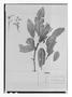Field Museum photo negatives collection; Paris specimen of Brunellia acutangula Humb. & Bonpl., COLOMBIA, J. C. B. Mutis, Holotype, P