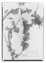 Field Museum photo negatives collection; Paris specimen of Acaena hirta Citerne, CHILE, C. Gay 71, Type [status unknown], P