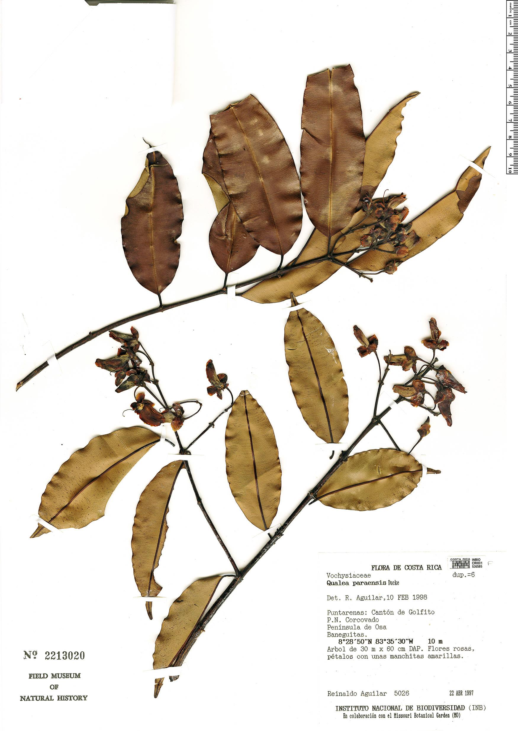 Espécimen: Qualea paraensis