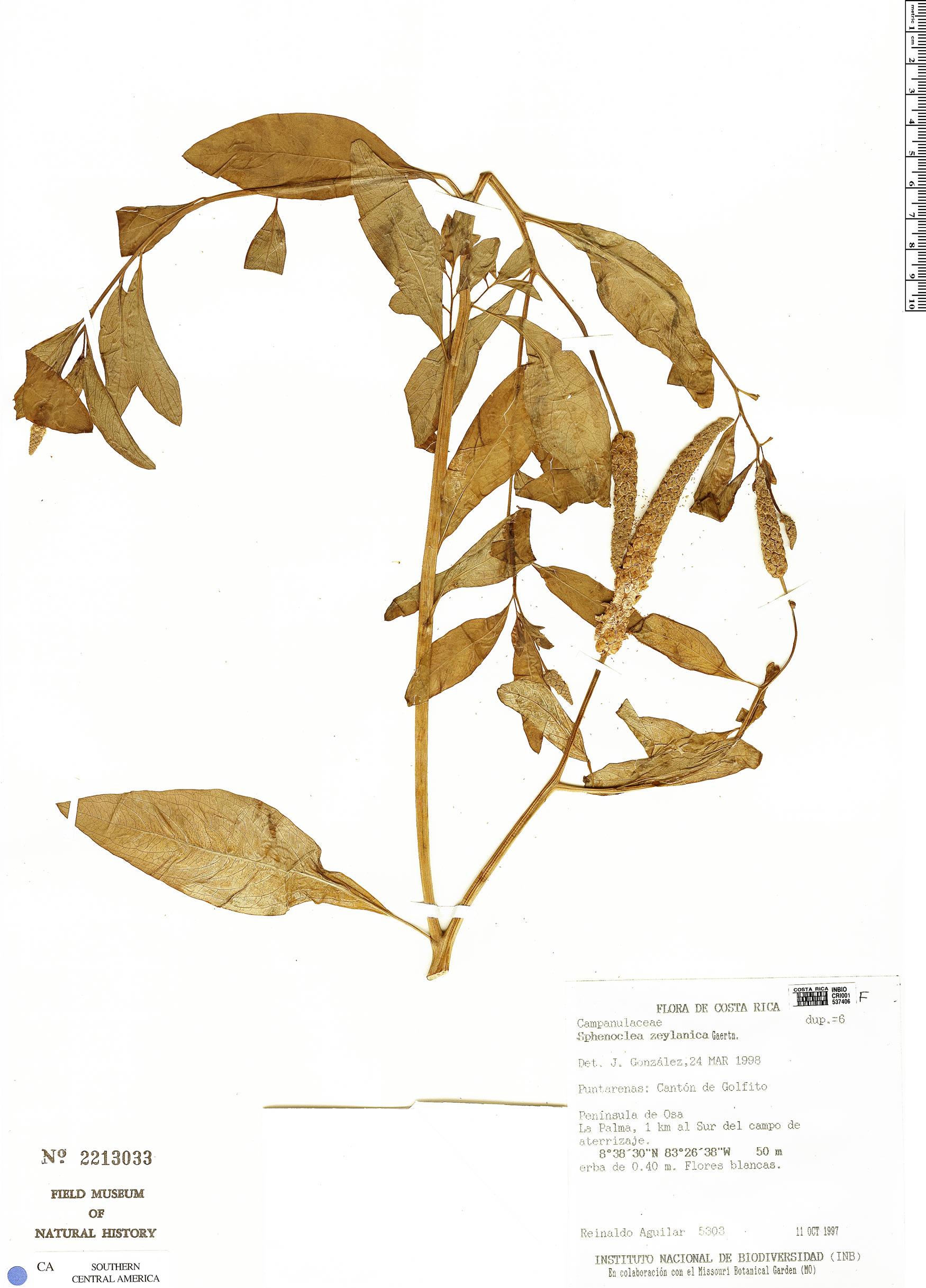 Specimen: Sphenoclea zeylanica