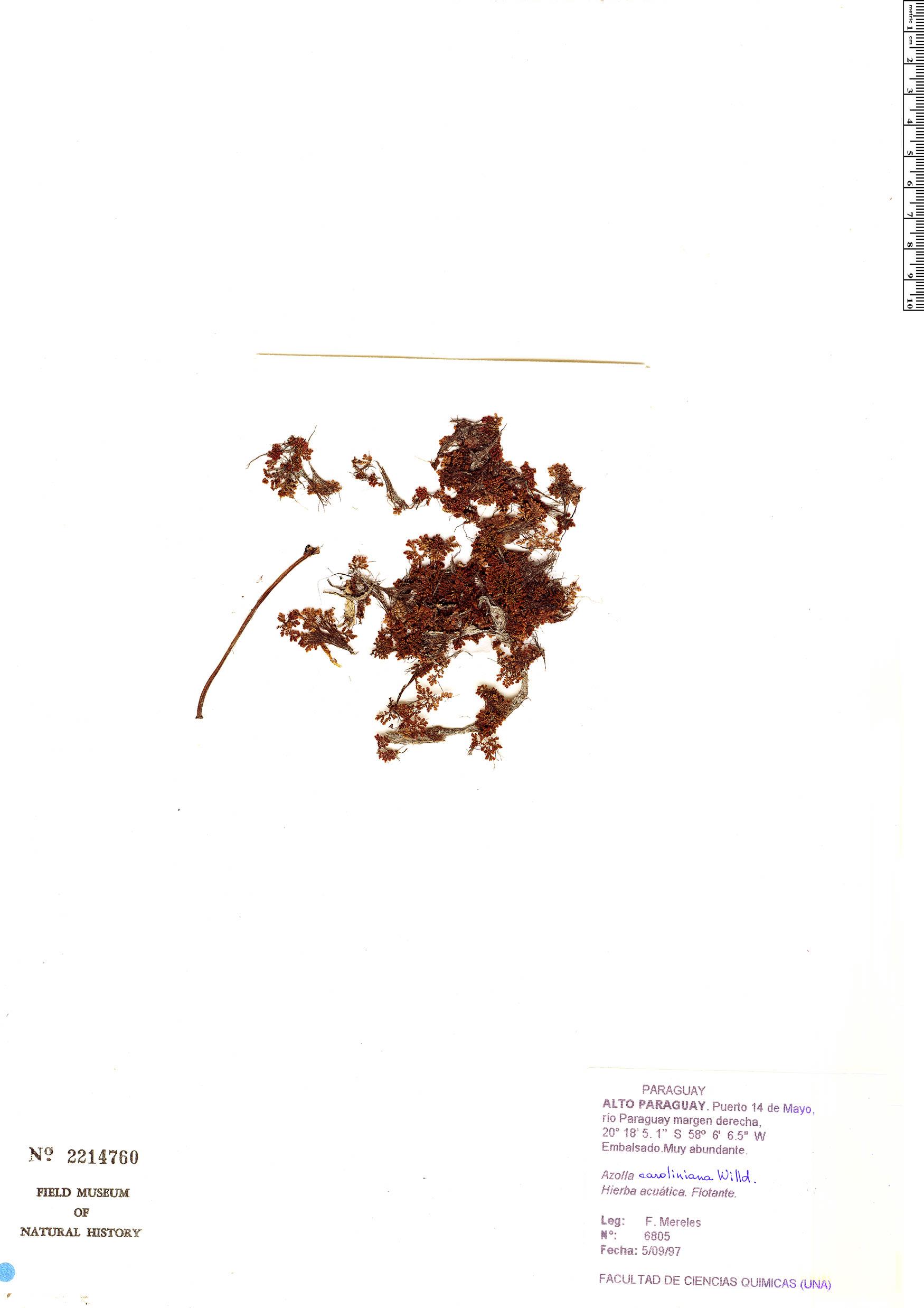Specimen: Azolla caroliniana