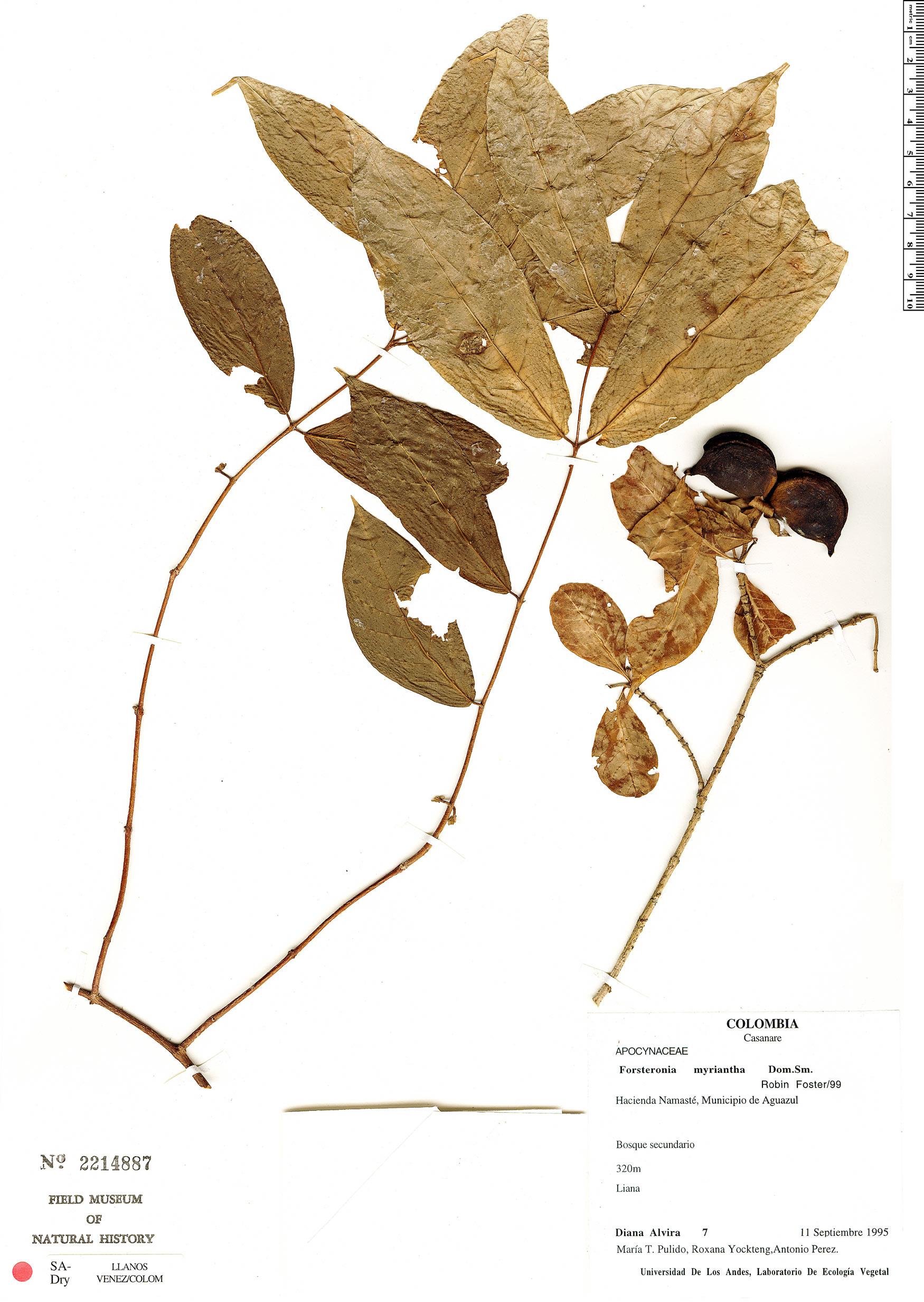 Specimen: Forsteronia myriantha