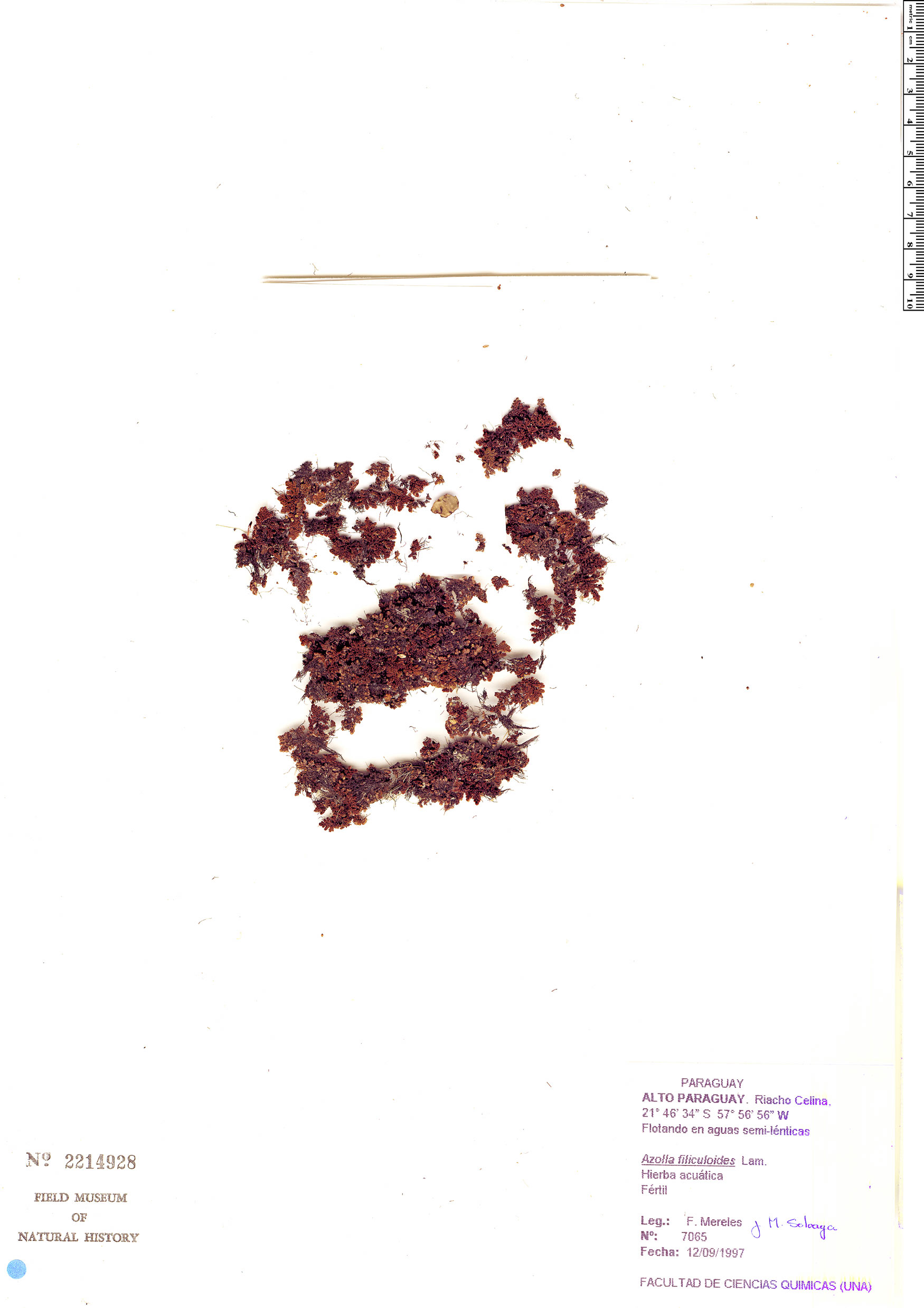 Specimen: Azolla filiculoides