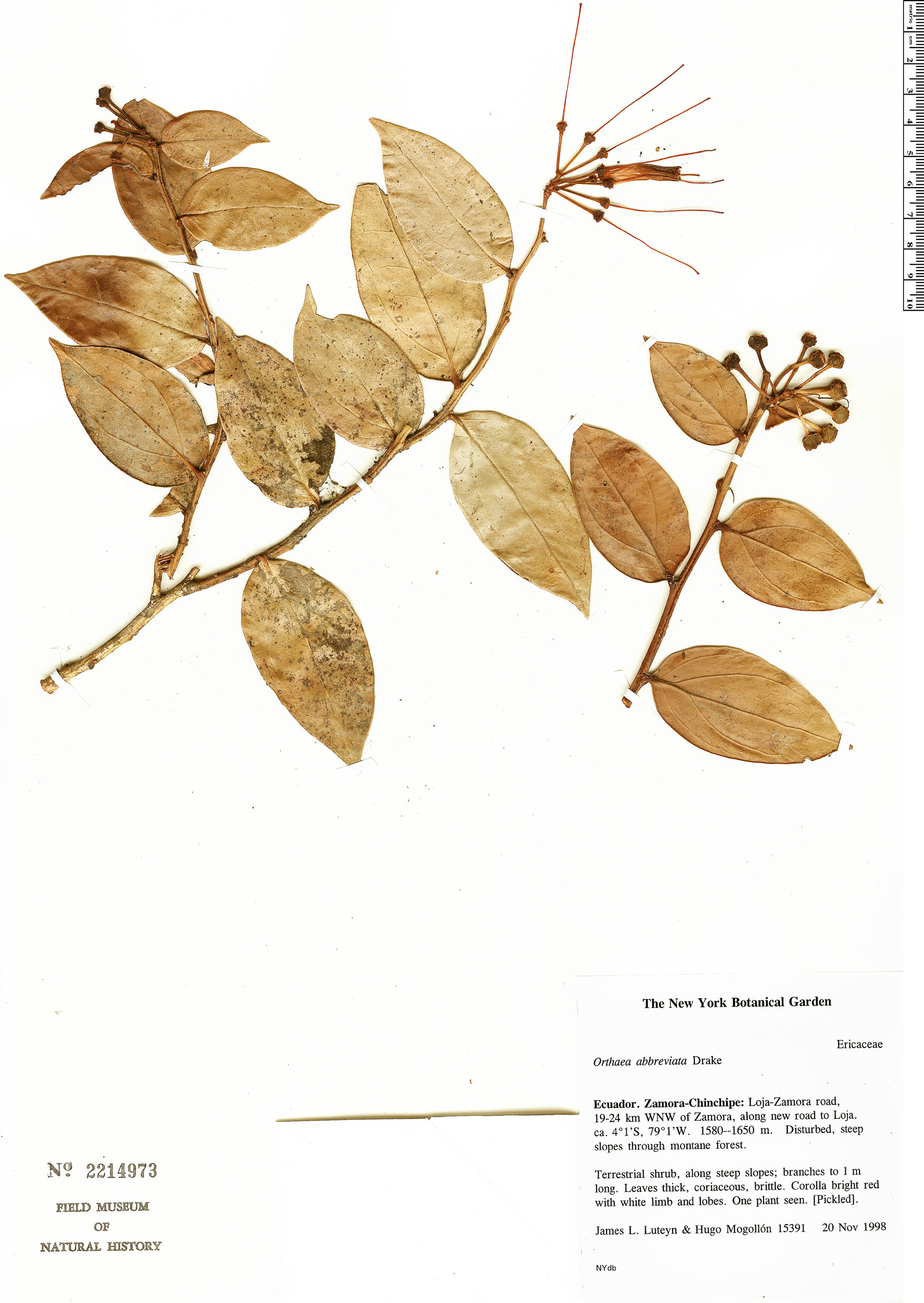 Espécime: Orthaea abbreviata