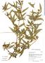 Flaveria bidentis image