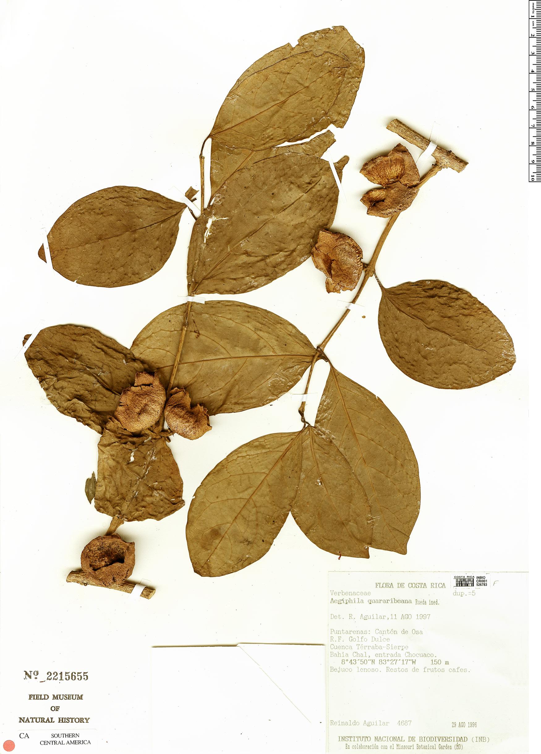 Specimen: Aegiphila quararibeana