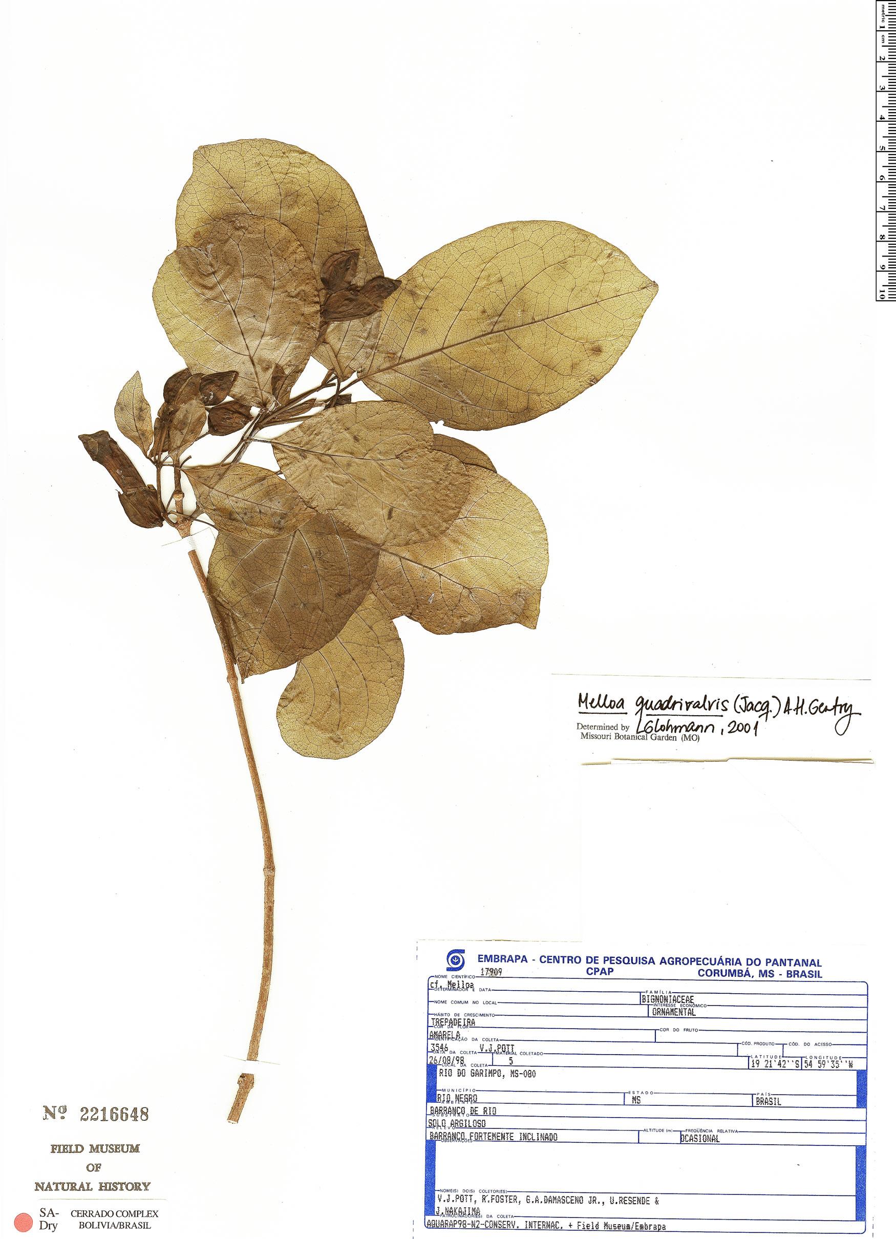 Specimen: Dolichandra quadrivalvis