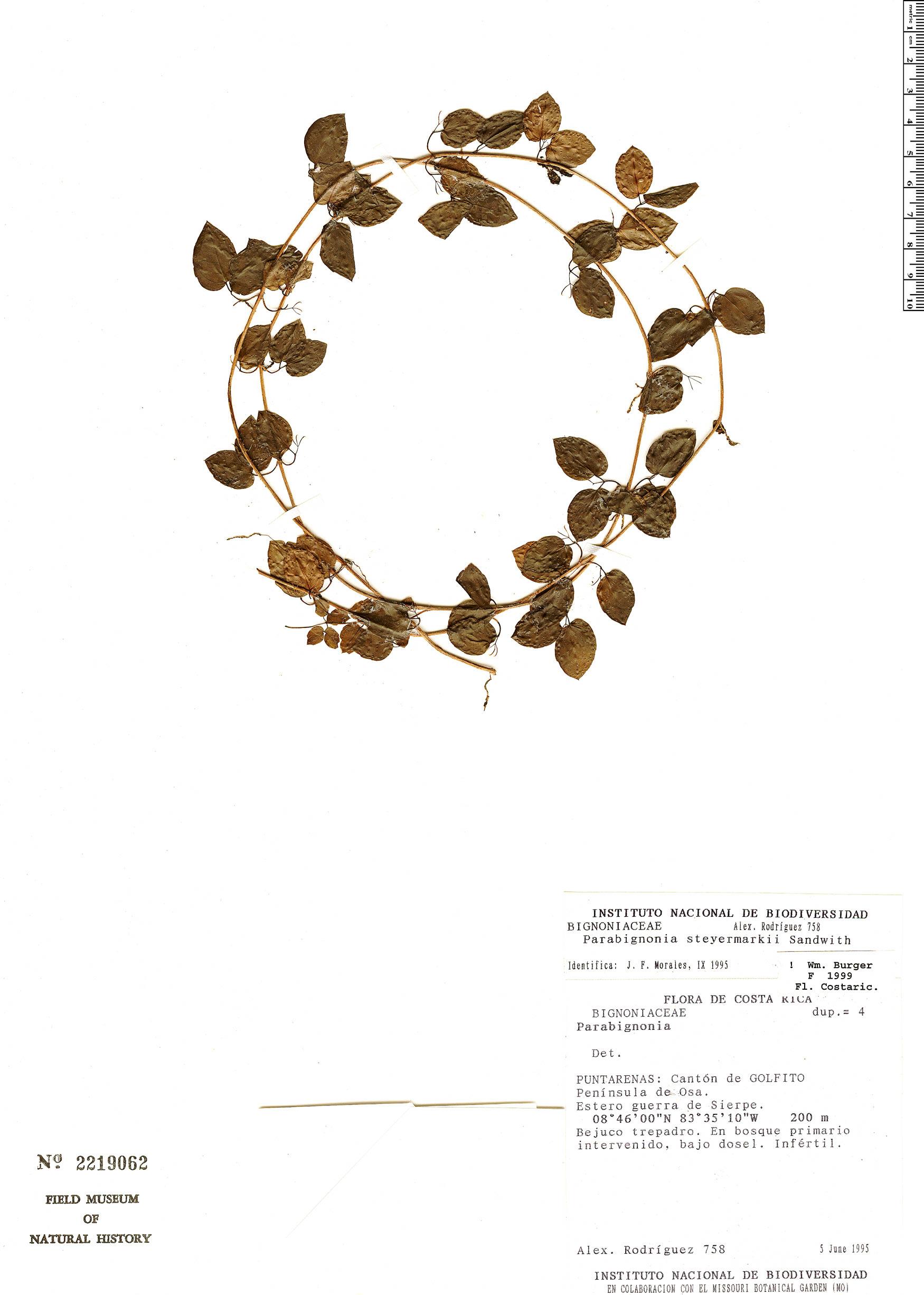 Specimen: Dolichandra steyermarkii