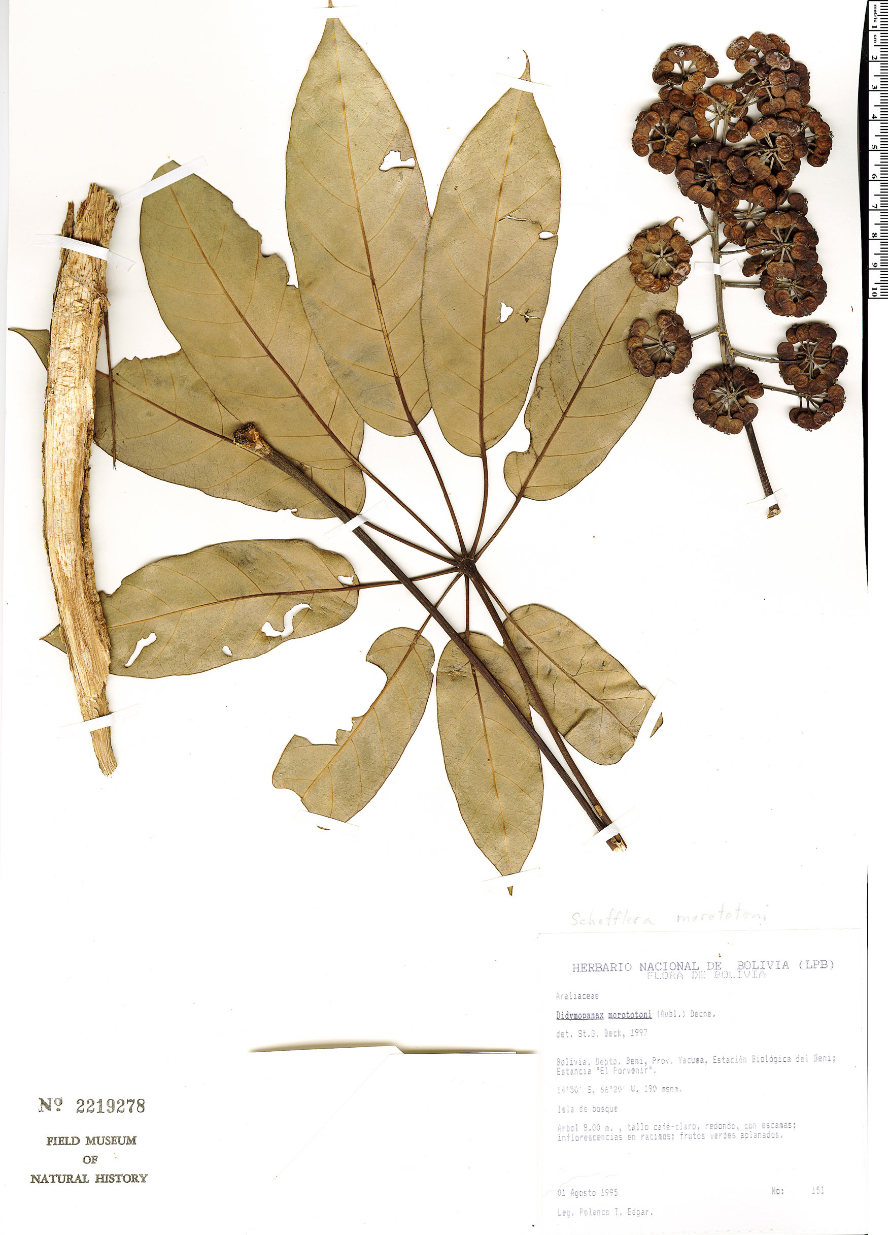 Specimen: Schefflera morototoni