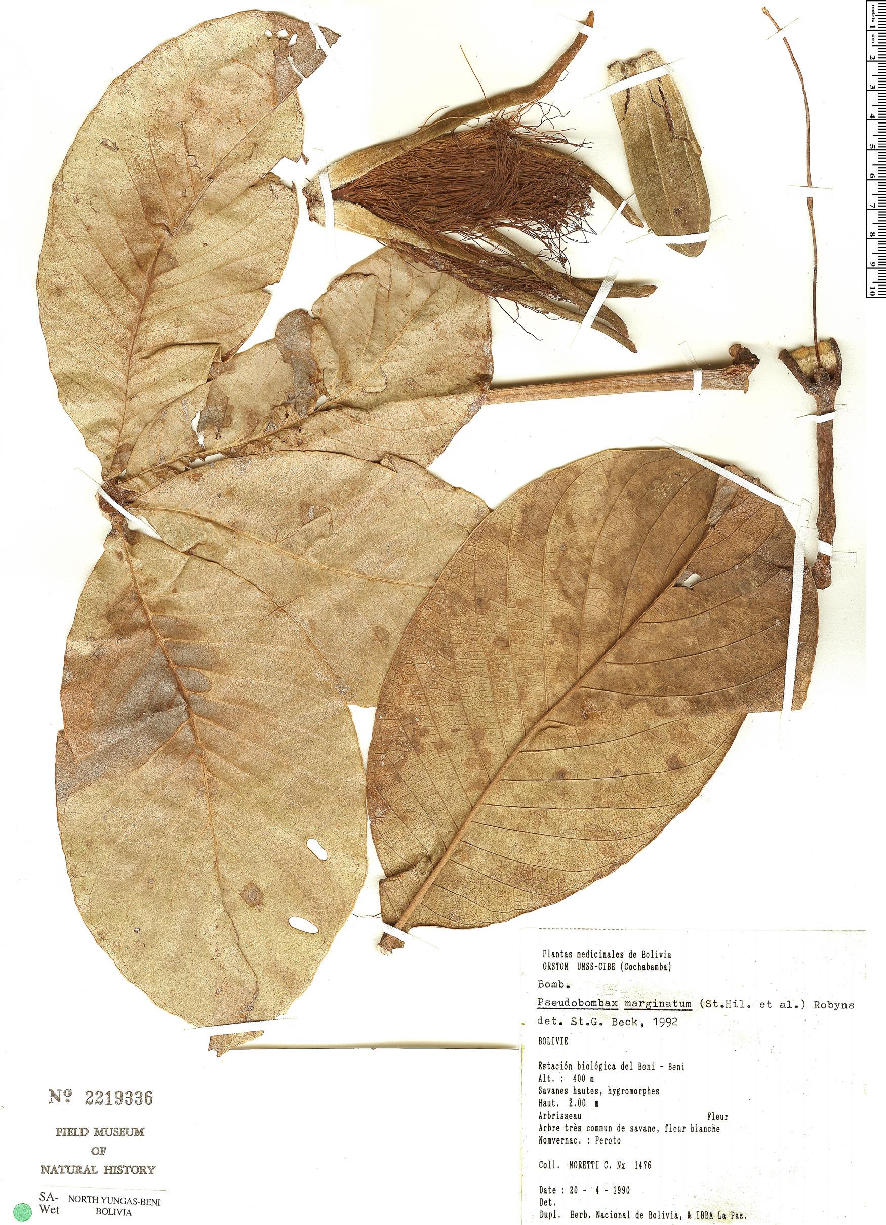 Specimen: Pseudobombax argentinum