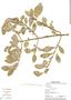 Randia aculeata L., Panama, C. Galdames 3581, F