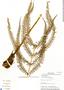 Thelypteris balbisii (Spreng.) Ching, Panama, C. Galdames 4031, F