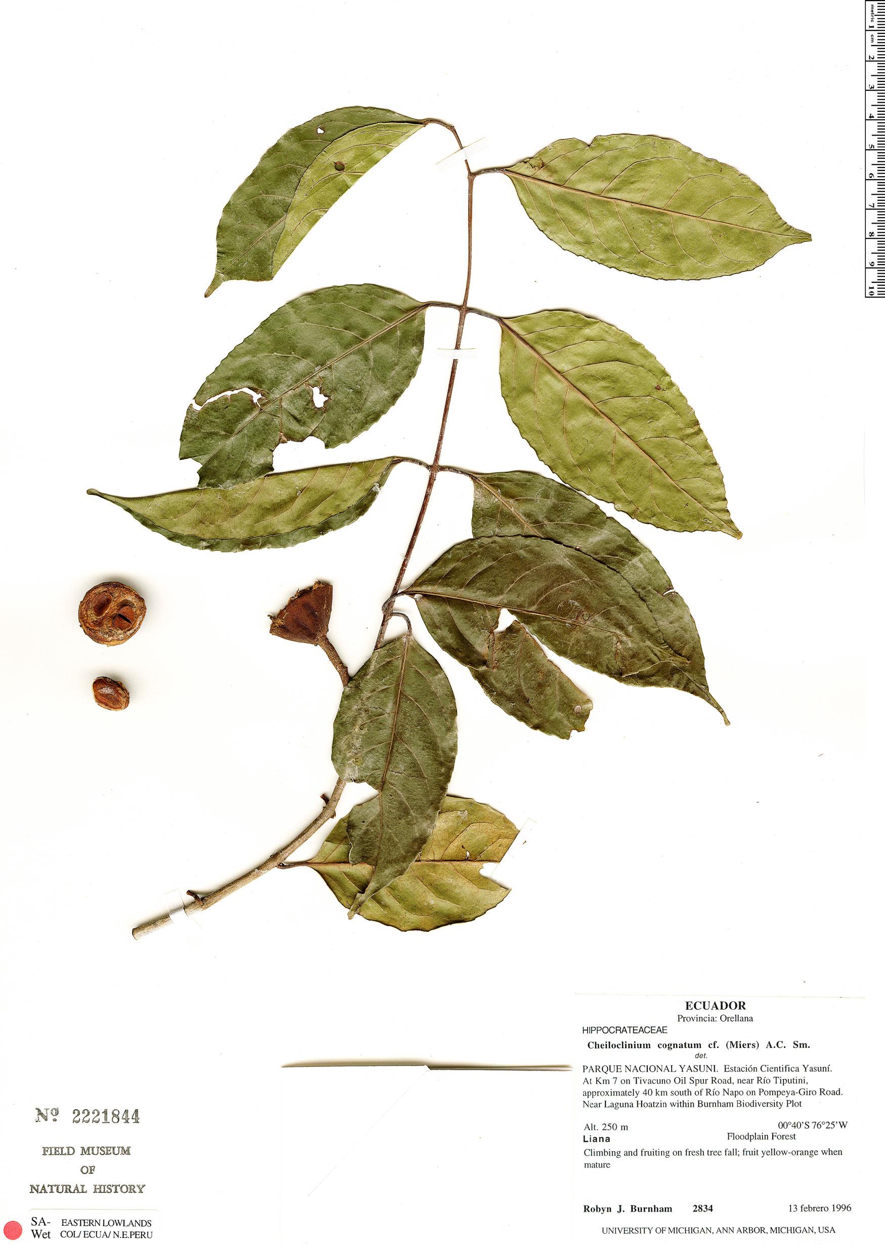 Specimen: Cheiloclinium hippocrateoides