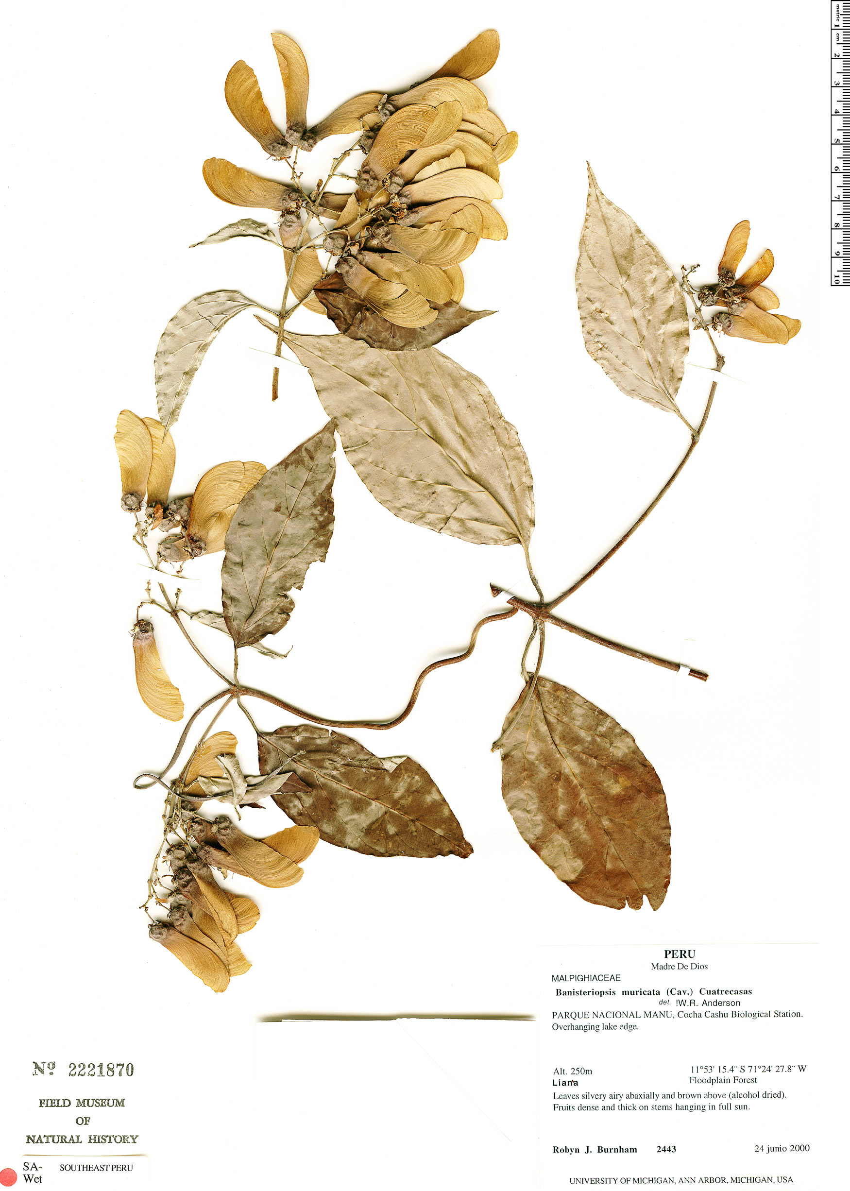 Specimen: Banisteriopsis muricata