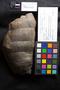 PP 58004 [HS, M] Calamites undulatus, Moscovian / Desmoinesian, Francis Creek Shale Member