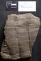 PP 58023 [HS, M] Calamites undulatus, Moscovian / Desmoinesian, Francis Creek Shale Member, Mazon Creek
