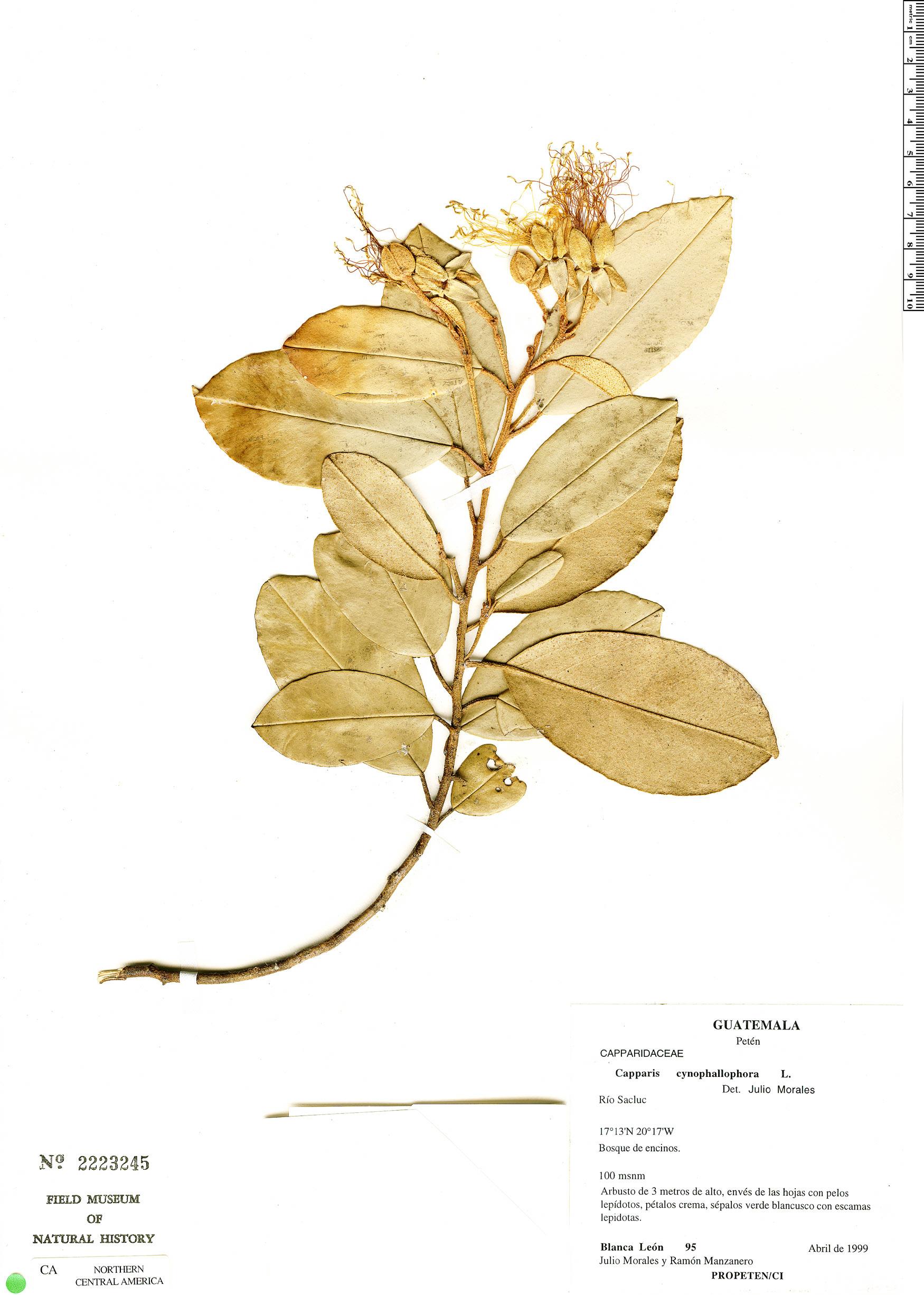 Espécimen: Quadrella isthmensis