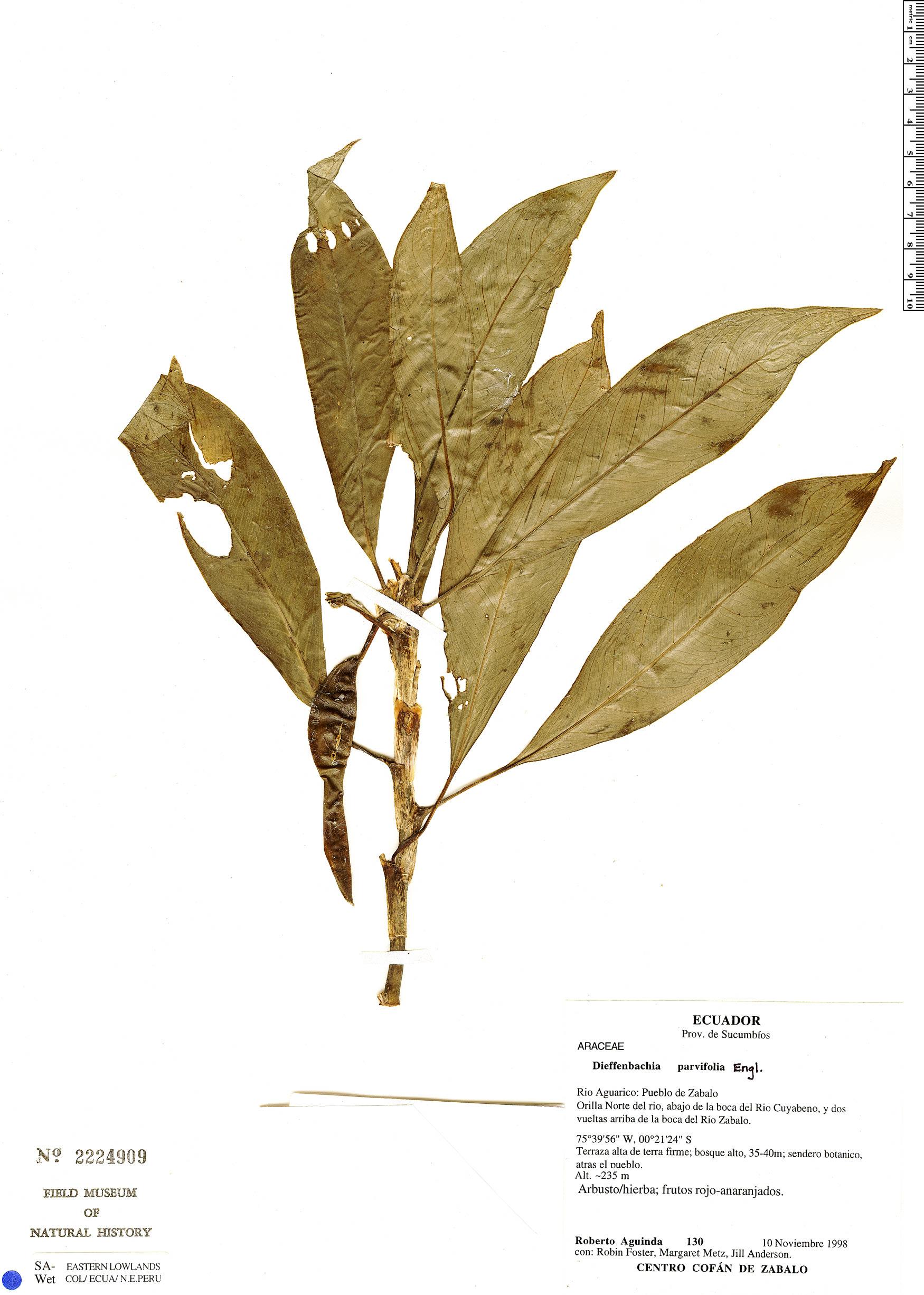 Specimen: Dieffenbachia parvifolia