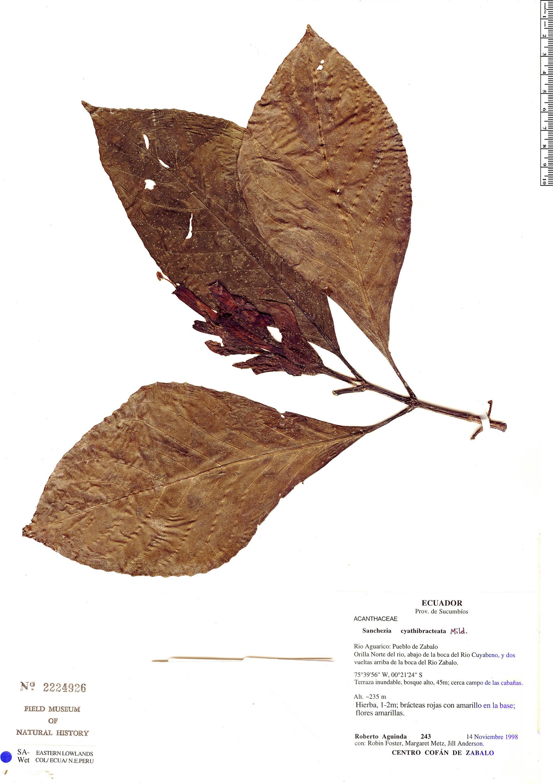 Espécime: Sanchezia macrocnemis