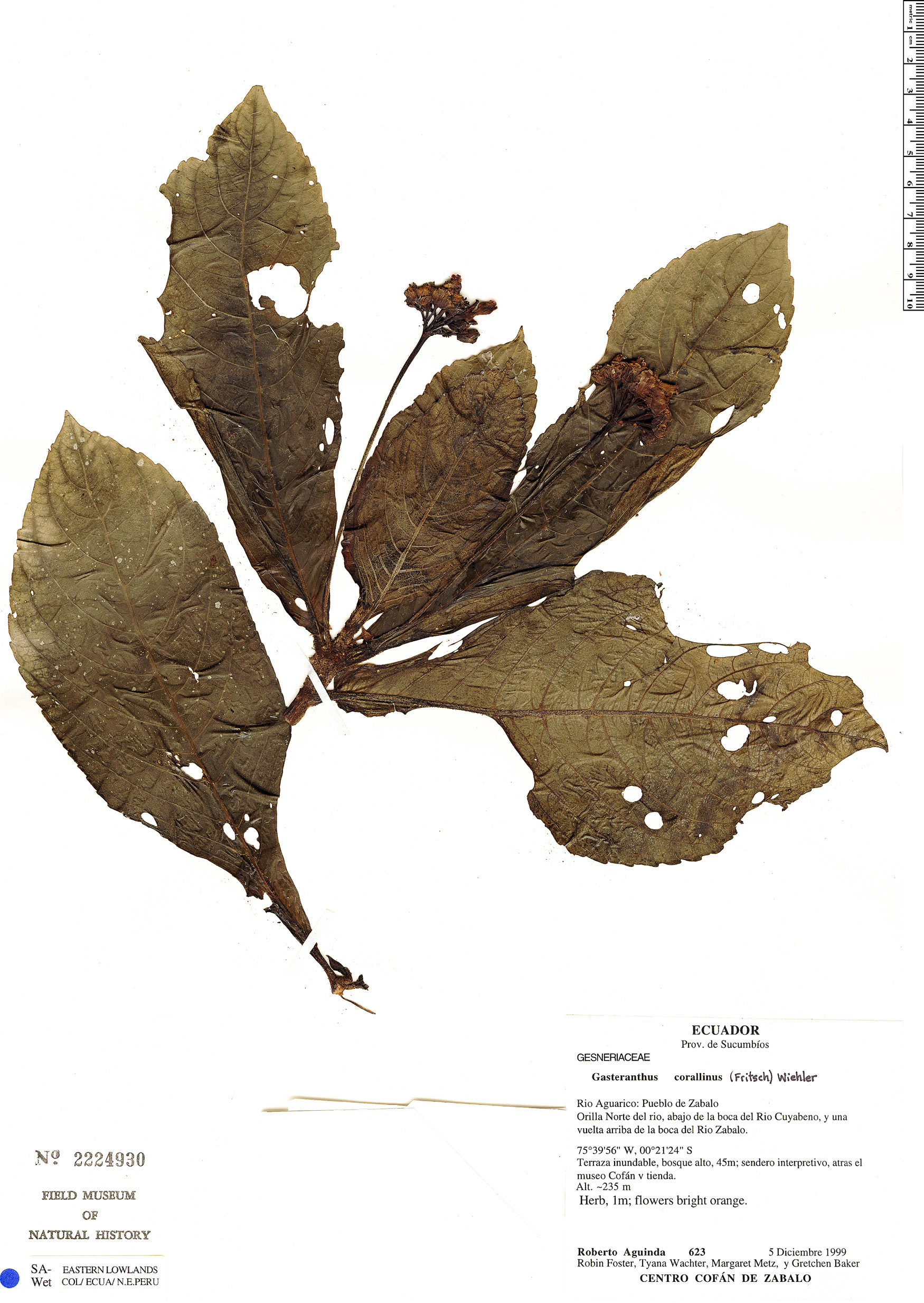 Specimen: Gasteranthus corallinus