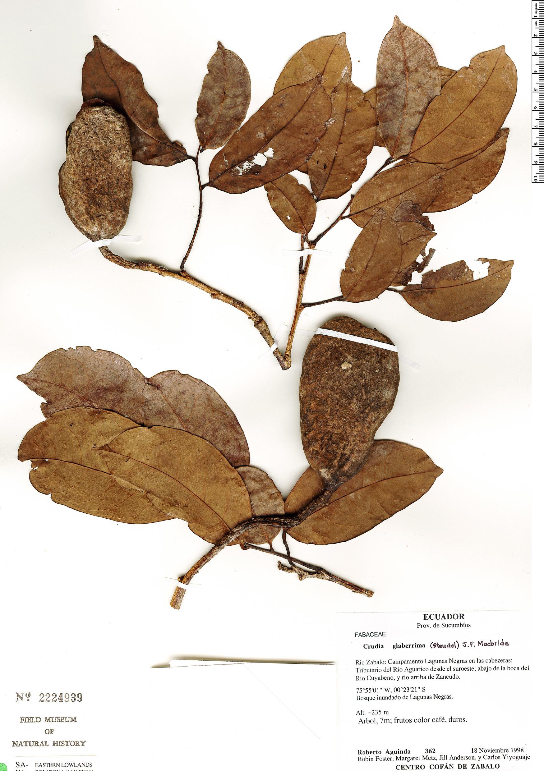 Specimen: Crudia glaberrima