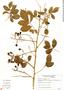 Paullinia carpopodea, Brazil, P. T. Sano 115, F