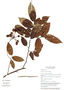 Miliusa sinensis Finet & Gagnep., Vietnam, N. M. Cuong 316, F