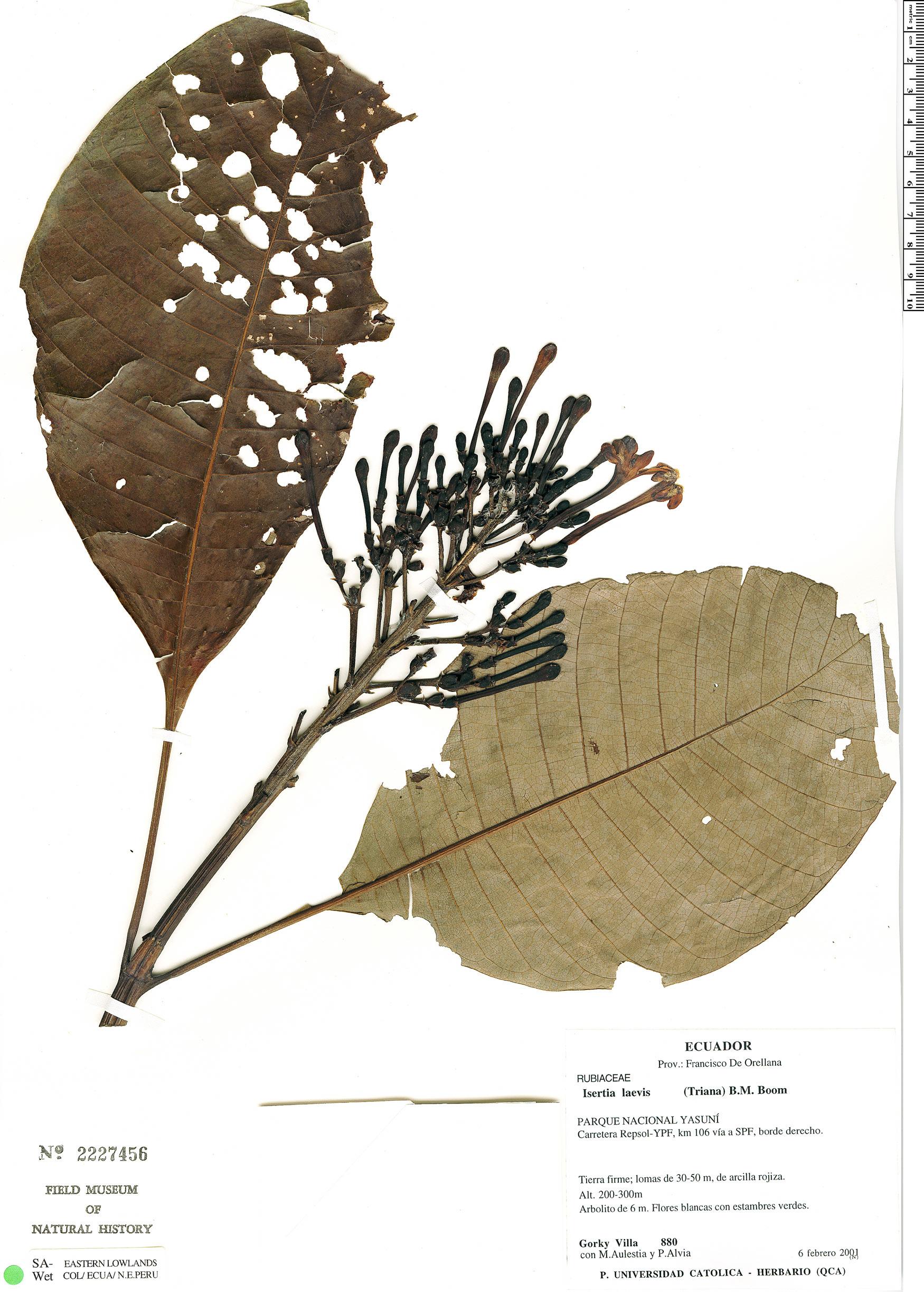 Specimen: Isertia laevis