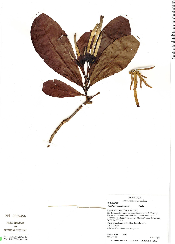 Specimen: Kutchubaea semisericea