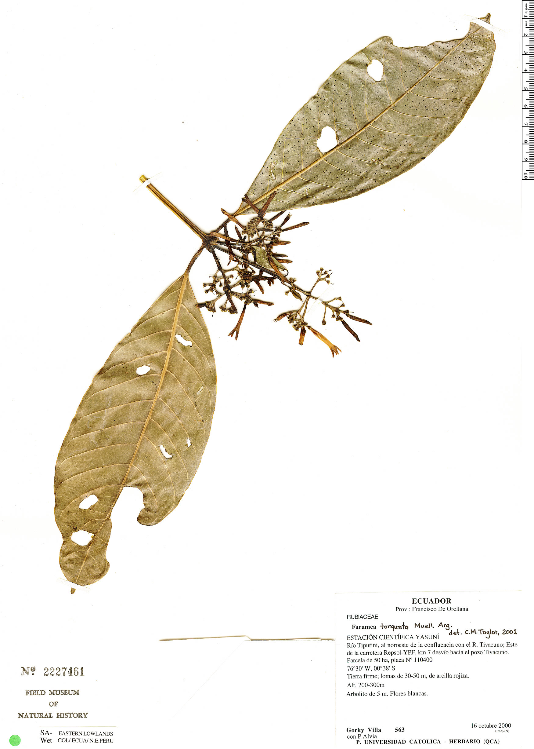 Specimen: Faramea torquata
