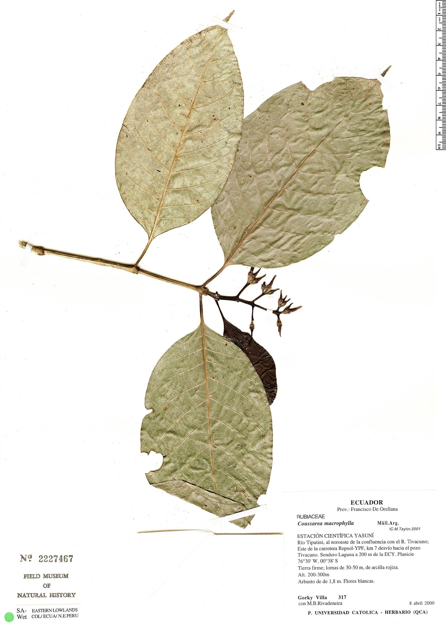 Specimen: Coussarea macrophylla