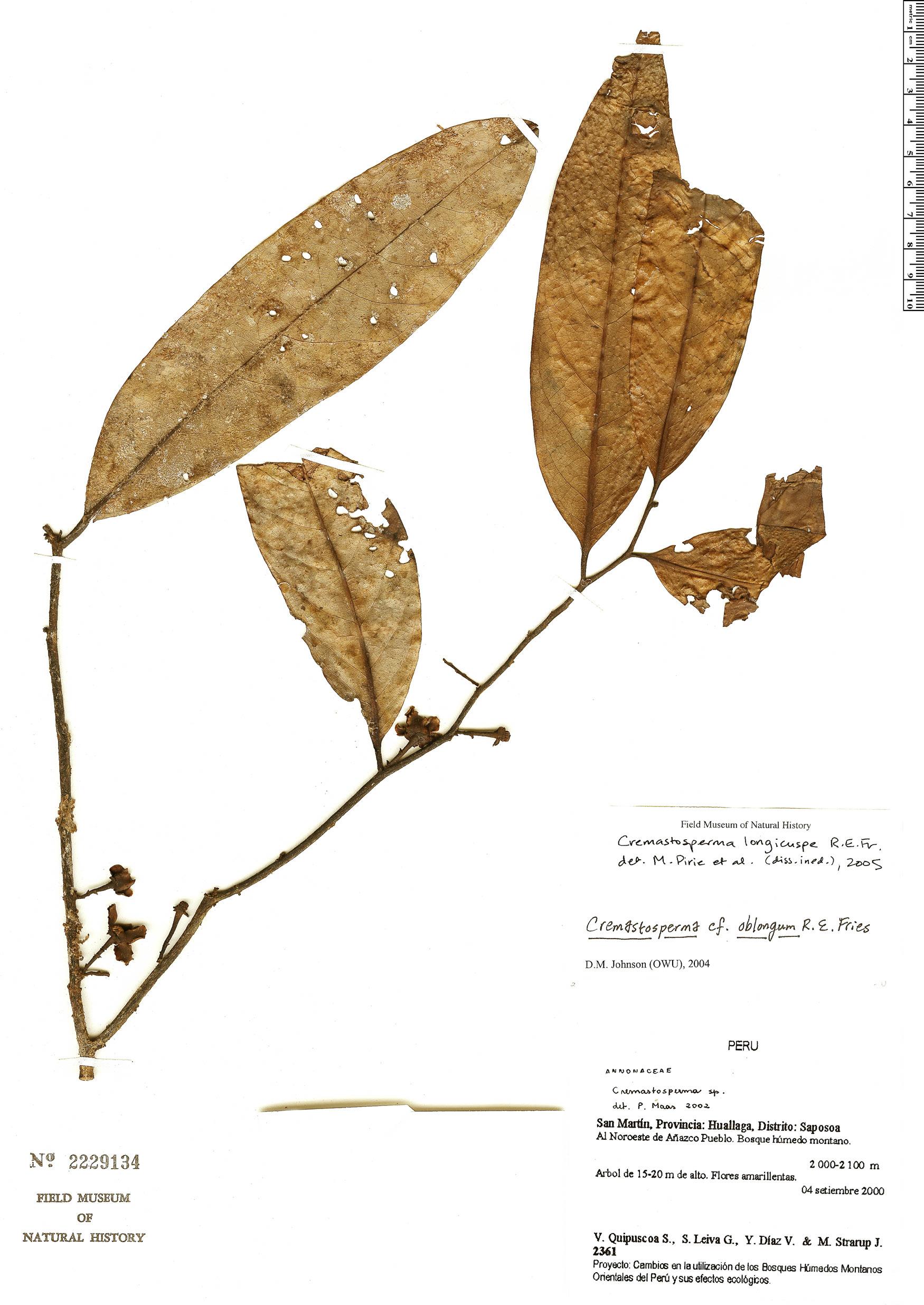 Espécime: Cremastosperma longicuspe