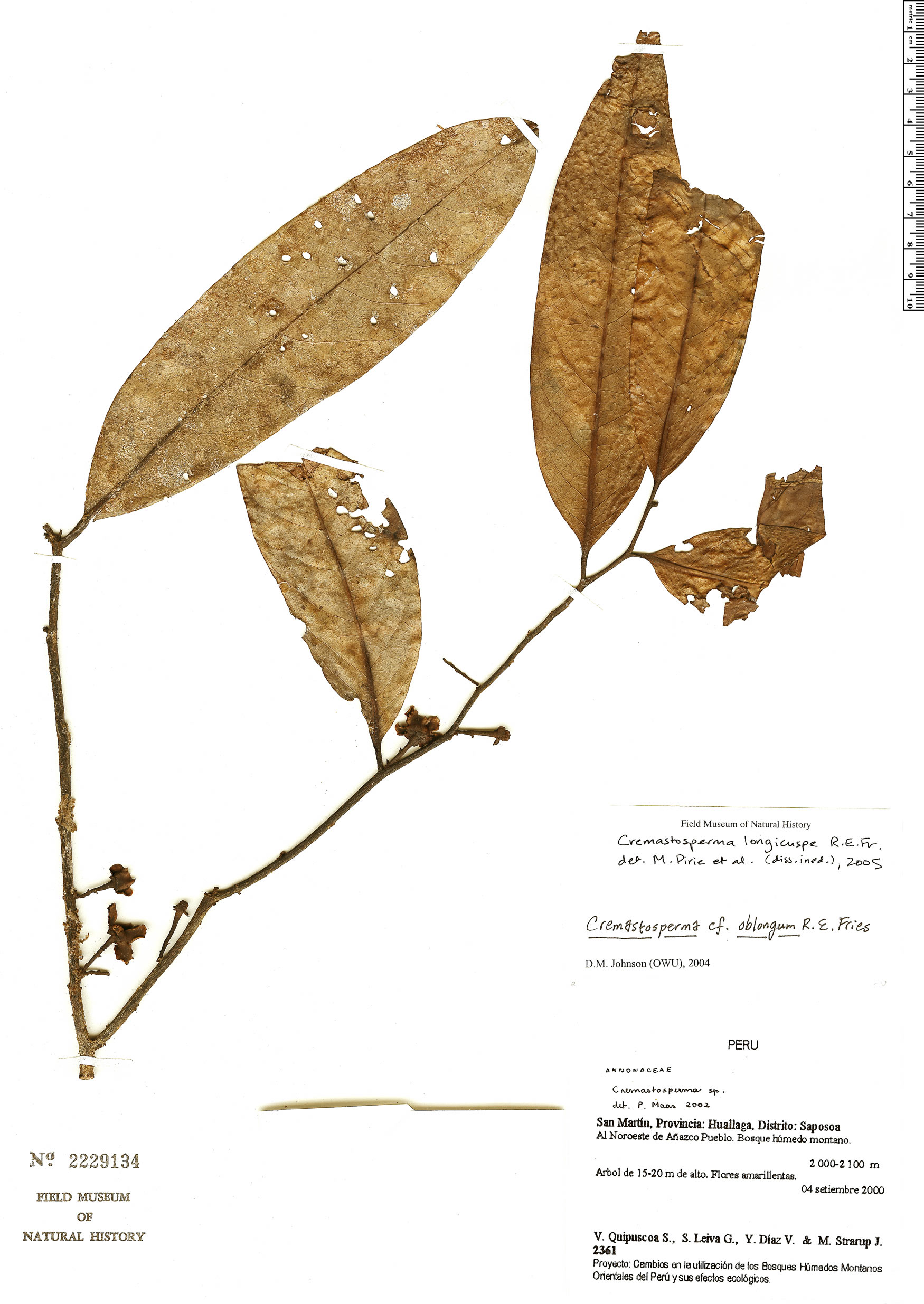 Espécimen: Cremastosperma longicuspe