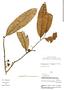 Cremastosperma longicuspe R. E. Fr., Peru, V. Quipuscoa S. 2361, F
