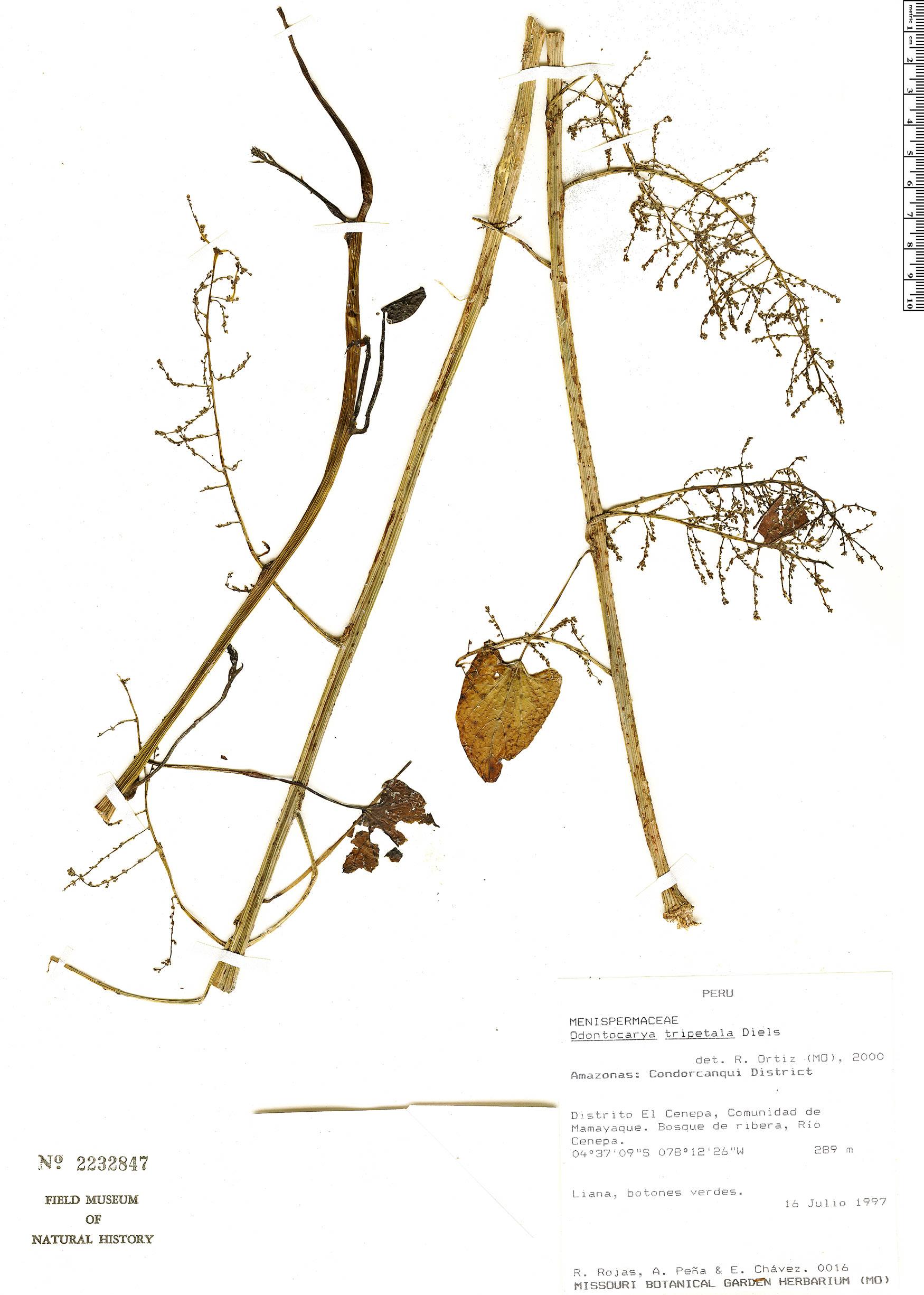Specimen: Odontocarya tripetala