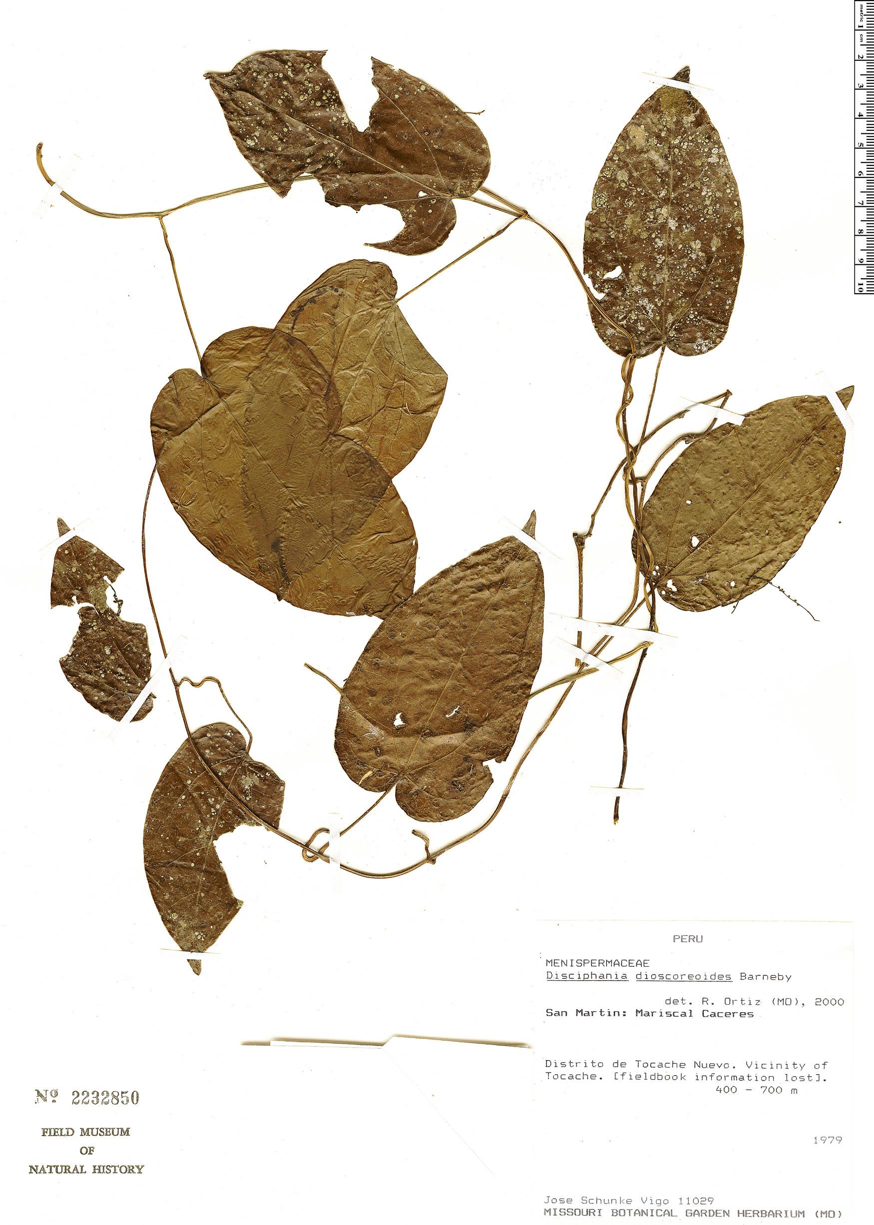 Specimen: Disciphania dioscoreoides