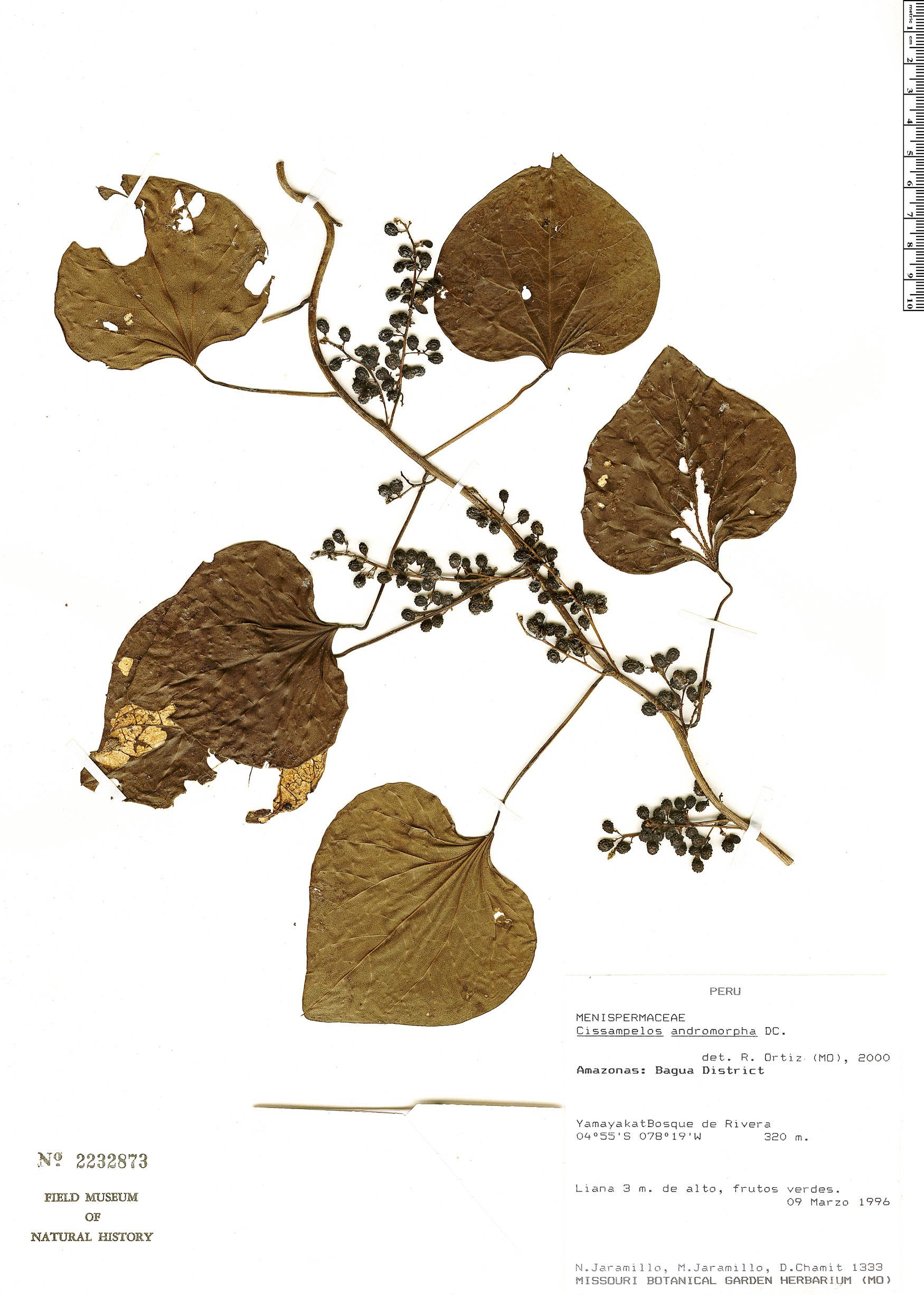 Specimen: Cissampelos andromorpha
