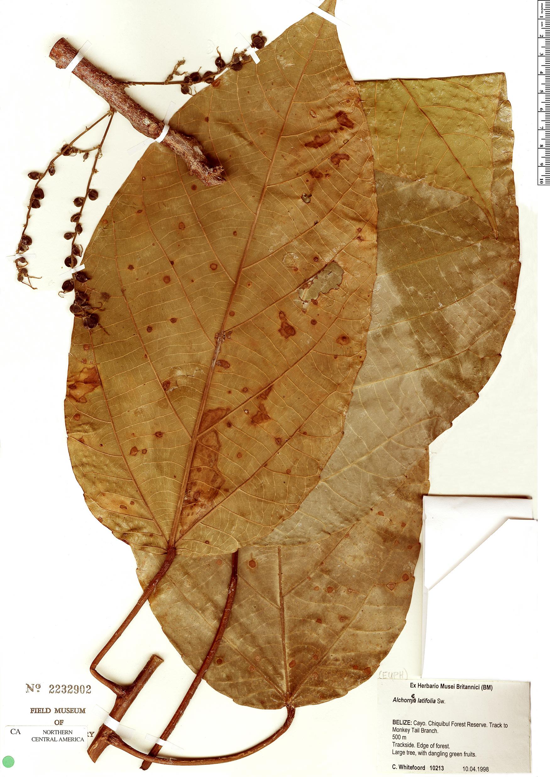 Espécimen: Alchornea latifolia