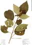 Image of Solanum erythrotrichum