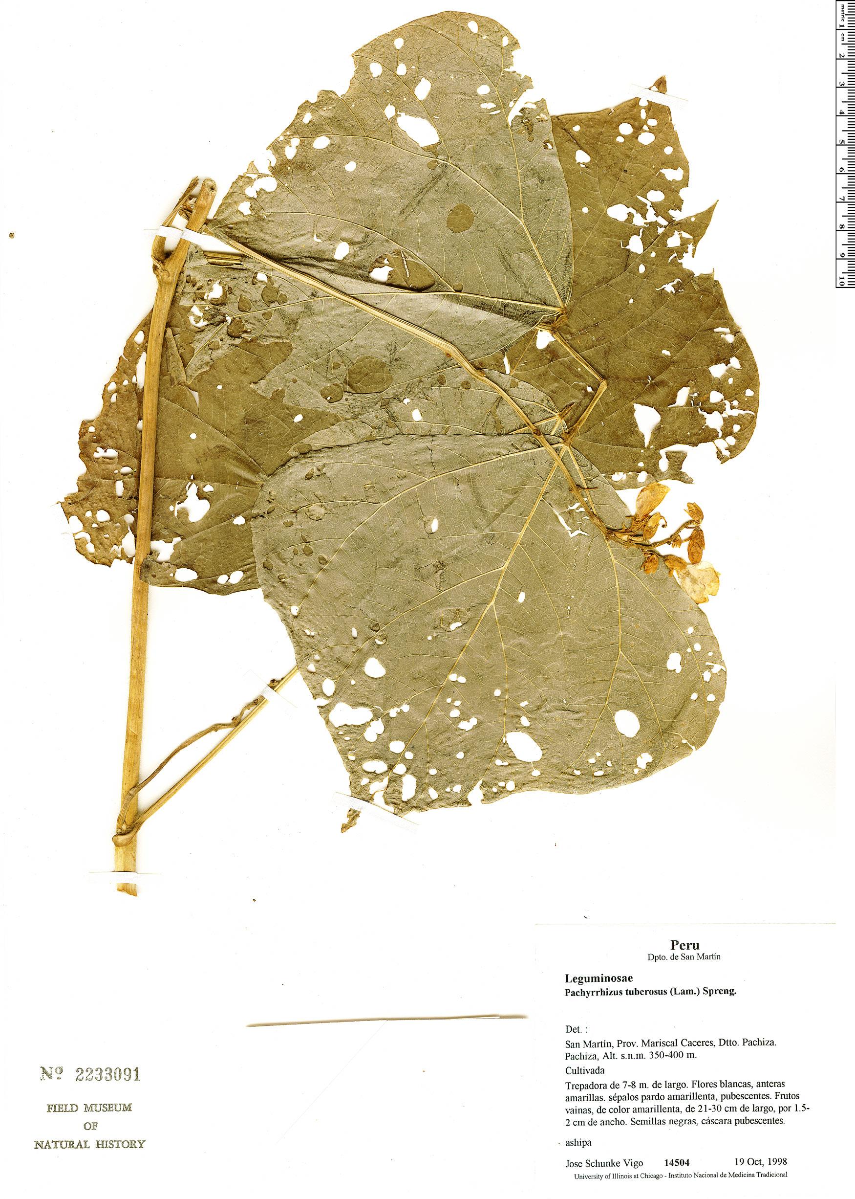 Specimen: Pachyrhizus tuberosus