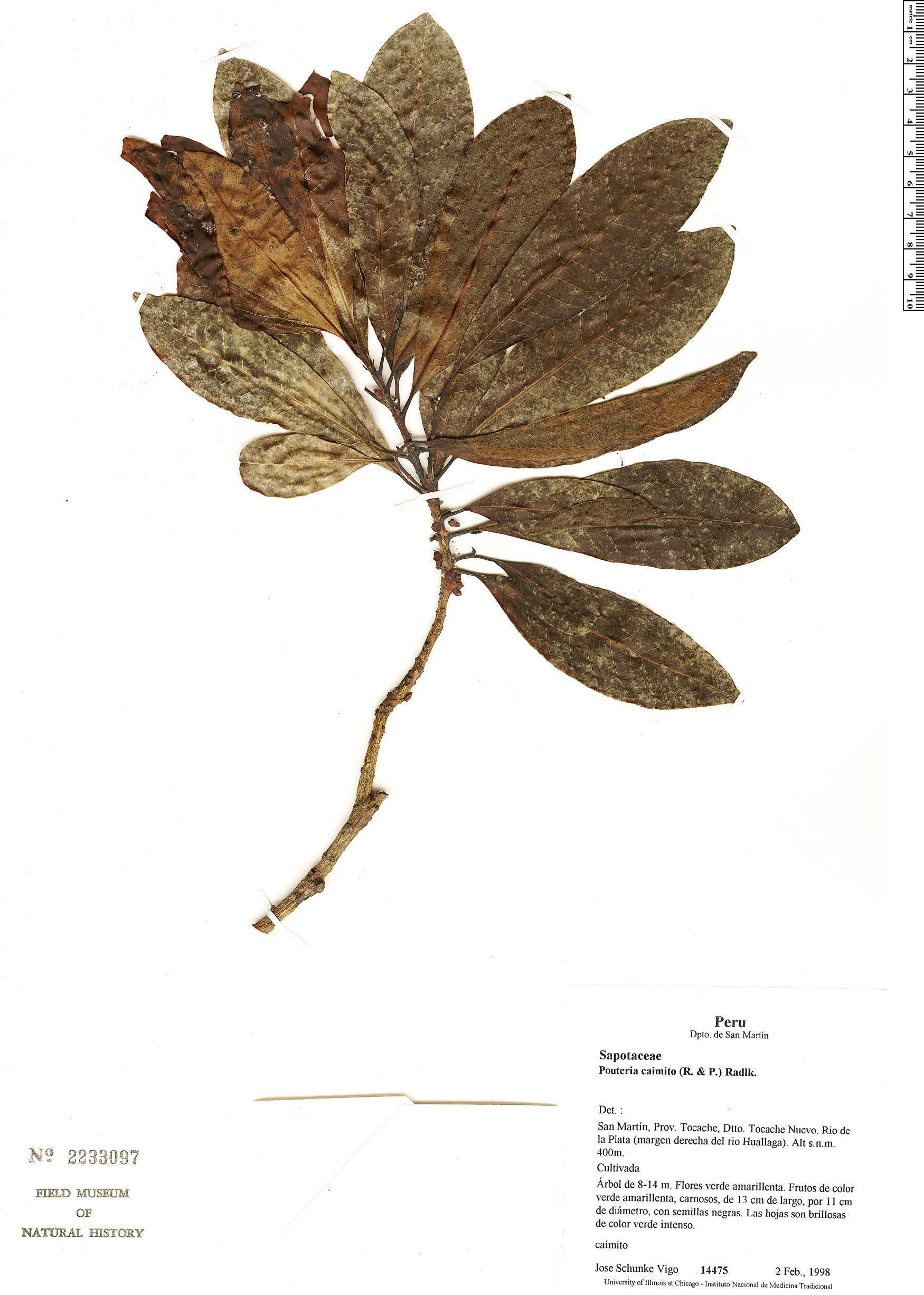 Specimen: Pouteria caimito
